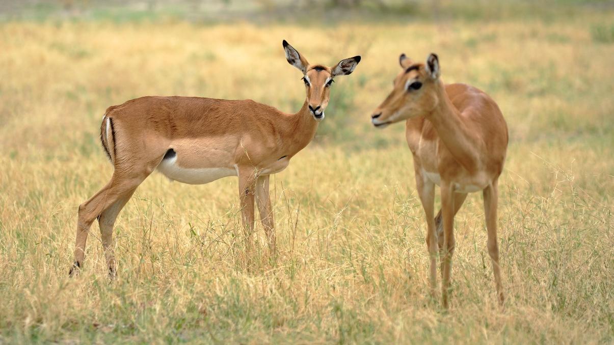 První impala